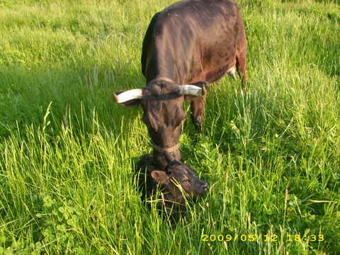 calf and mom in grass
