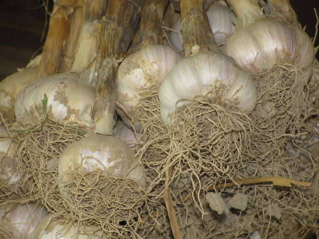 garlic bunch