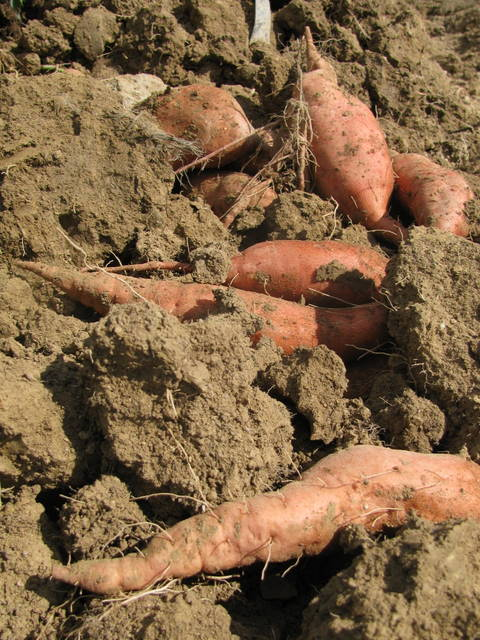 Sweet potatoes in field