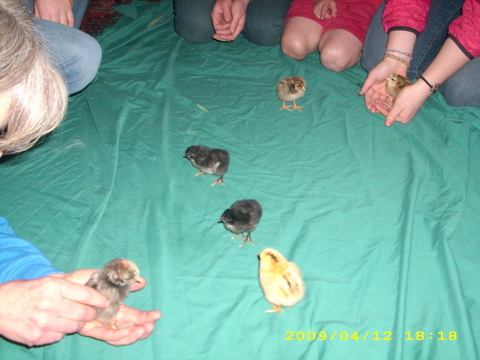 Chicks a few days old