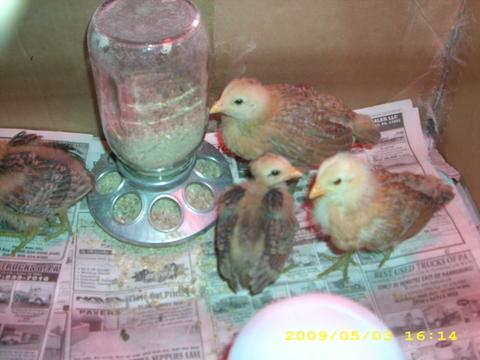 chick update