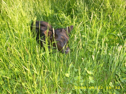 calf in grass