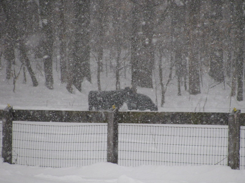 blizzard cows