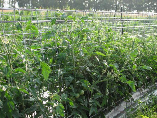 tomato caging 1