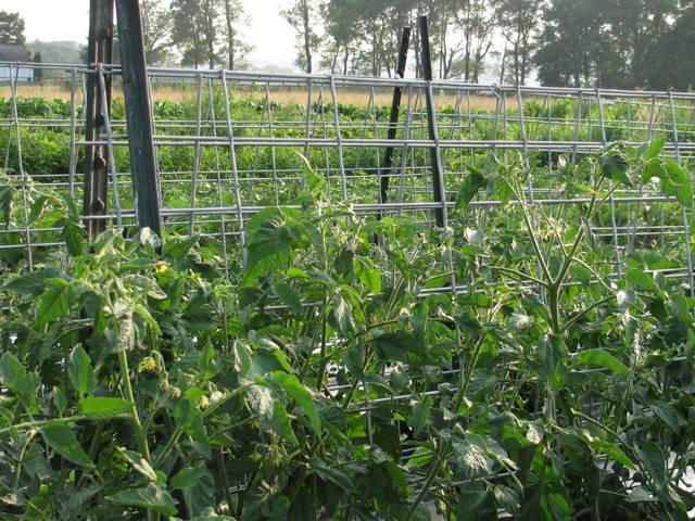 tomato caging 2