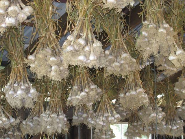 garlic in the barn