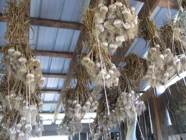 garlic barn 2011