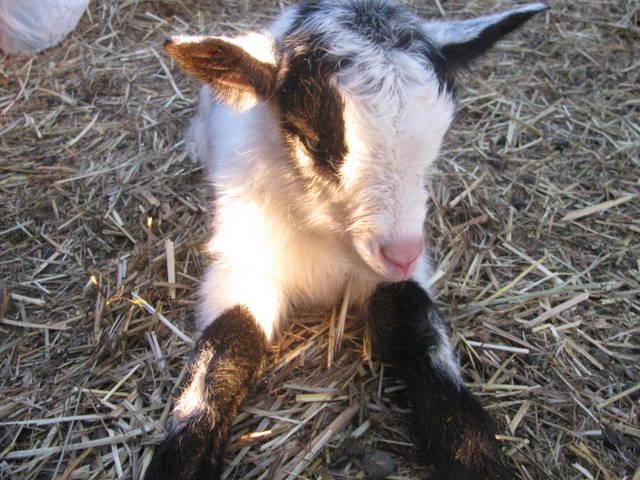 Goat kid cutiebob