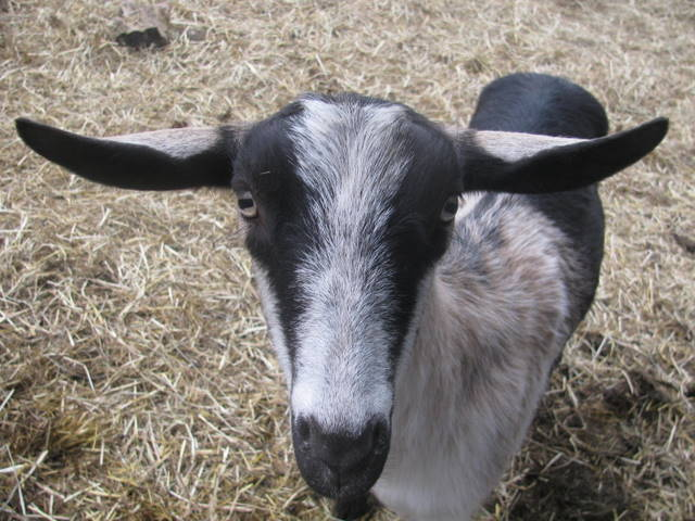 april goat