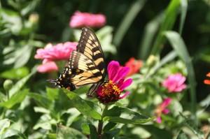 rachel albert butterfly